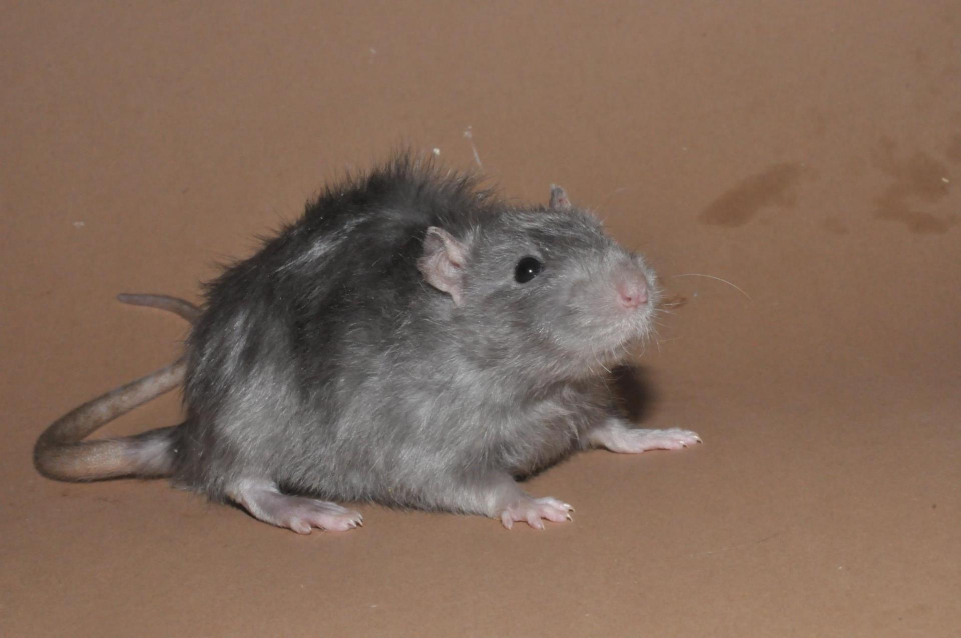 Rat Harley
