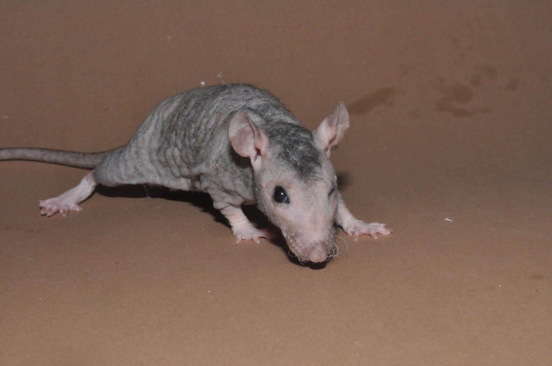 Rat Fuzz noir