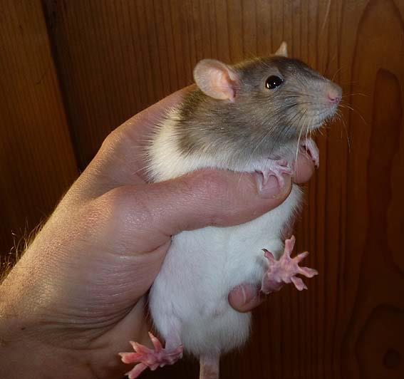 Rat nain adulte