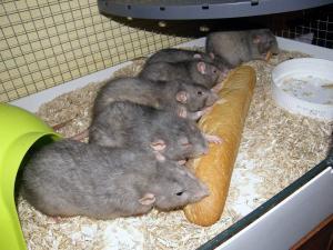 Groupe rat