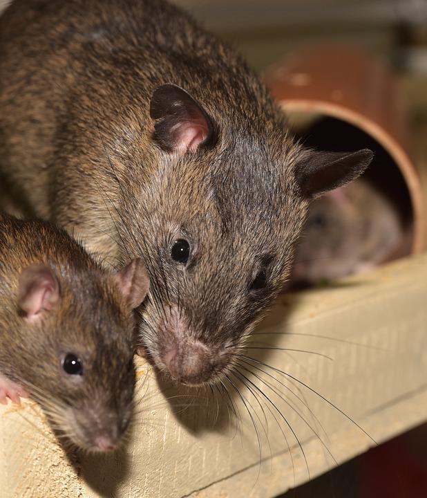 Rats agouti
