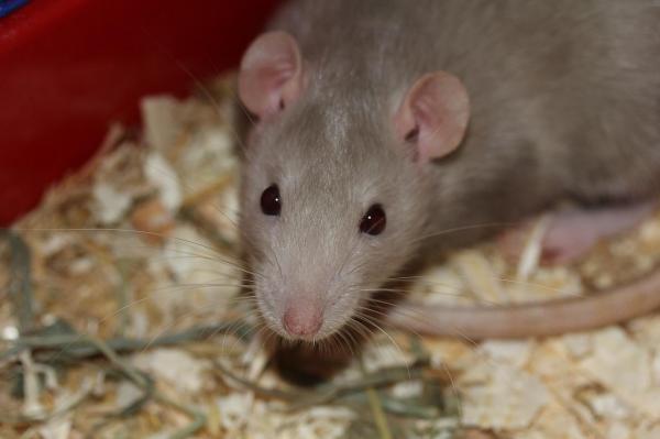 Rat beige