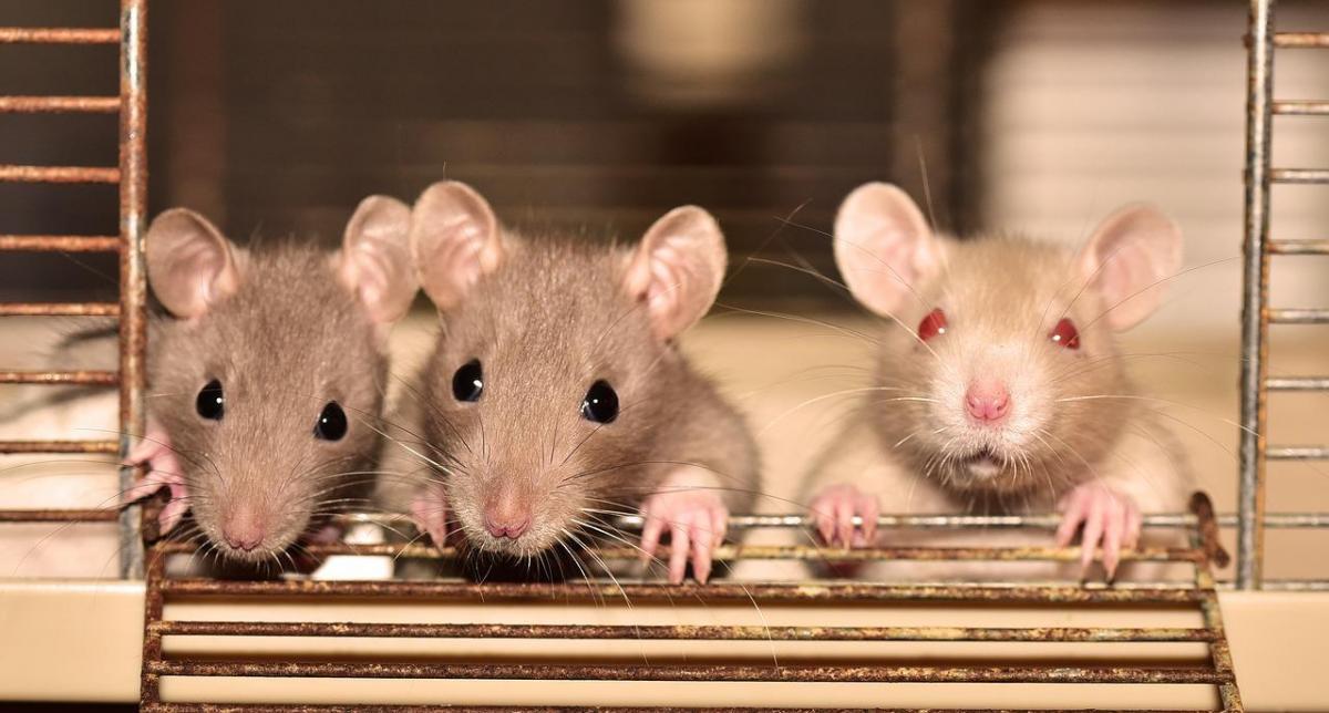 image groupe rat