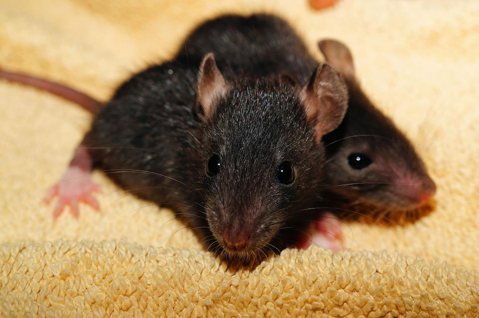 jeunes rats