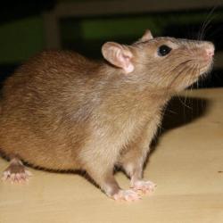 Rat Birman