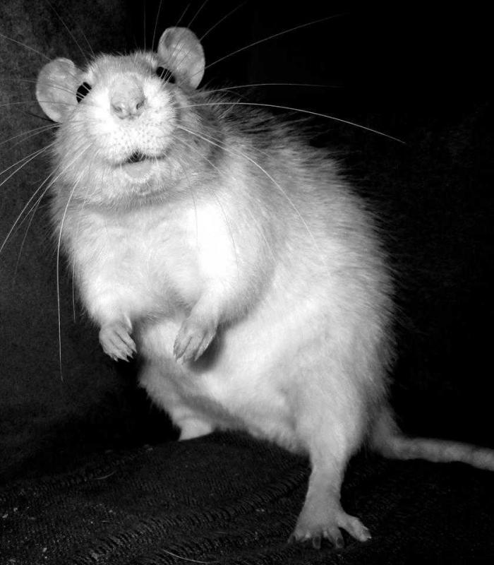Rat drole 2