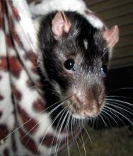 Rat drole 5