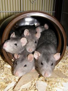 Rat groupe femelle