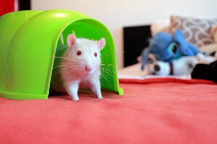 Rat maison
