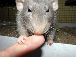 Rat humain