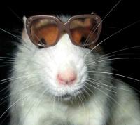 Rat lunette