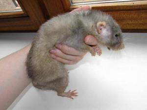 Rat malade 1