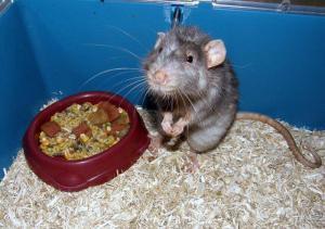Rat malade