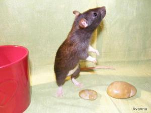 Rat noir debout