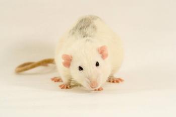 Rat opposum