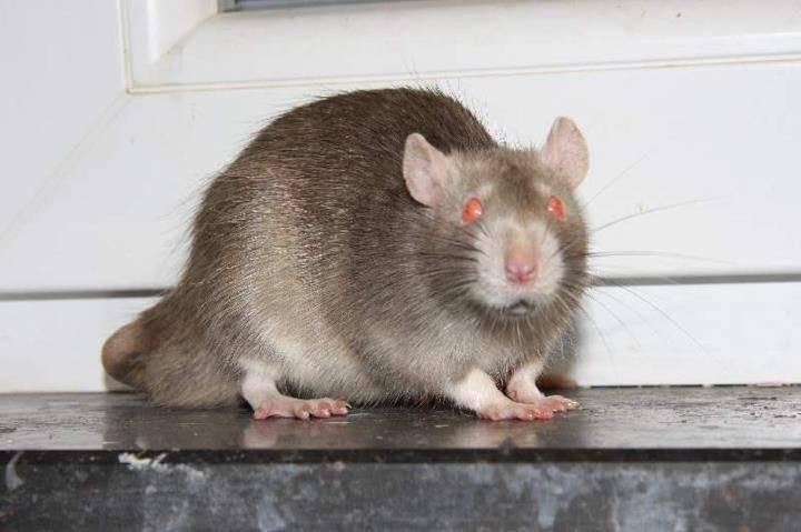 Rat REDevil