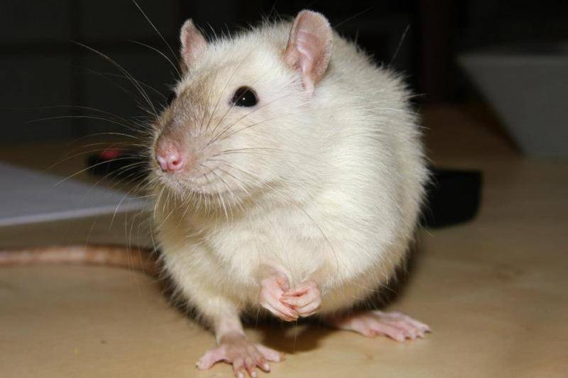 Rat BES