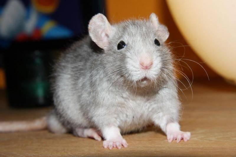Rat velours