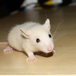 Rat dark rubis