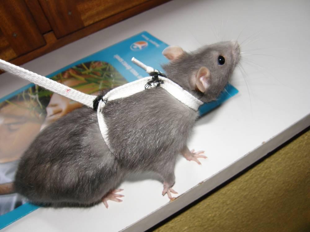 Rat maison comment faire avie home - Faire fuir les rats ...